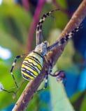 Η κίτρινα ριγωτά δηλητηριώδη αράχνη & x28 σφηκών Argiope bruennichi& x29  Στοκ φωτογραφίες με δικαίωμα ελεύθερης χρήσης