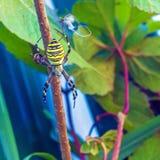 Η κίτρινα ριγωτά δηλητηριώδη αράχνη & x28 σφηκών Argiope bruennichi& x29  Στοκ Εικόνες