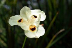 Η κίτρινη άγρια Iris Στοκ Φωτογραφία
