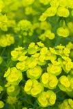 Η κίτρινη άνθηση λουλουδιών Στοκ φωτογραφίες με δικαίωμα ελεύθερης χρήσης