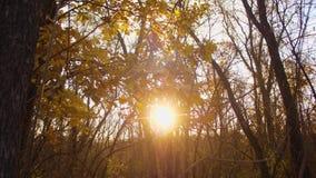 Η κίτρινη βαλανιδιά αφήνει την ταλάντευση στους κλάδους στον ήλιο, δάσος φθινοπώρου που φωτίζεται από τον ήλιο φιλμ μικρού μήκους