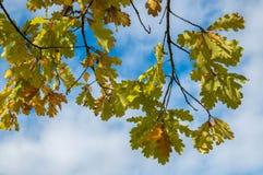 Η κίτρινη βαλανιδιά βγάζει φύλλα Στοκ εικόνες με δικαίωμα ελεύθερης χρήσης