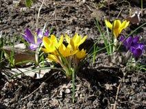 Η κίτρινη και ιώδης πορφυρή άνθιση κρόκων καλλιεργεί την άνοιξη πάρκο στοκ εικόνες