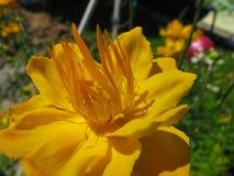 Η κίτρινη μακροεντολή λουλουδιών Στοκ εικόνες με δικαίωμα ελεύθερης χρήσης