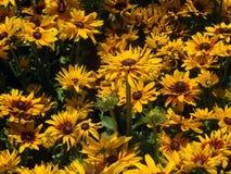 Η κίτρινη μαύρη Eyed Susan Στοκ εικόνα με δικαίωμα ελεύθερης χρήσης