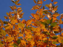 Η κίτρινη οξιά βγάζει φύλλα Στοκ φωτογραφία με δικαίωμα ελεύθερης χρήσης