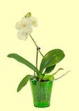 Η κίτρινη ορχιδέα κλάδων ανθίζει, βάζο, flowerpot, Orchidaceae, Phalaenopsis γνωστό ως ορχιδέα σκώρων, βραχυνμένο Phal στοκ εικόνα με δικαίωμα ελεύθερης χρήσης