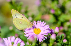Η κίτρινη πεταλούδα συλλέγει το νέκταρ σε έναν οφθαλμό Astra Verghinas Στοκ Εικόνα