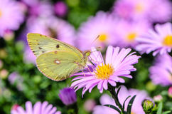 Η κίτρινη πεταλούδα συλλέγει το νέκταρ σε έναν οφθαλμό Astra Verghinas Στοκ Φωτογραφία