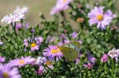 Η κίτρινη πεταλούδα συλλέγει το νέκταρ σε έναν οφθαλμό Astra Verghinas Στοκ Εικόνες