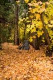 Η κίτρινη πορτοκαλιά πτώση φθινοπώρου χρωματίζει τη μεγάλη δασώδη δασική πορεία φύλλων Στοκ Φωτογραφίες