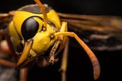 Η κίτρινη σφήκα αγγειοπλαστών Στοκ φωτογραφίες με δικαίωμα ελεύθερης χρήσης
