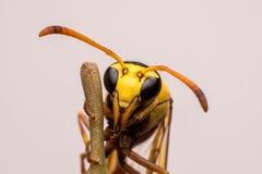 Η κίτρινη σφήκα αγγειοπλαστών Στοκ Φωτογραφία
