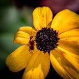 Η κίτρινη Daisy με το μεγάλο κόκκινο μυρμήγκι Στοκ φωτογραφία με δικαίωμα ελεύθερης χρήσης