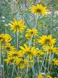 Η κίτρινη Daisy, Underside της μαύρης Eyed Susan στοκ εικόνες