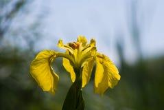 Η κίτρινη Iris Στοκ Εικόνες