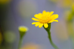 Η κίτρινη Zinnia στοκ εικόνες