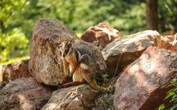 Η κίτρινος-πληρωμένη βράχος-wallaby συνεδρίαση xanthopus Petrogale στους βράχους, ήλιος άναψε τα δέντρα στο υπόβαθρο στοκ εικόνες