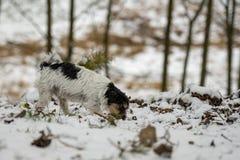 Η καθαρής φυλής μύτη τεριέ του Jack Russell tricolor ακολουθεί μια διαδρομή το χιονώδη χειμώνα στοκ εικόνες