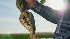 Η καλλιέργεια του σακχαρότευτλου στοκ φωτογραφίες
