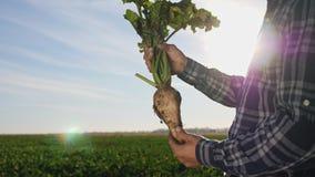Η καλλιέργεια του σακχαρότευτλου στοκ εικόνα