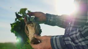 Η καλλιέργεια του σακχαρότευτλου απόθεμα βίντεο