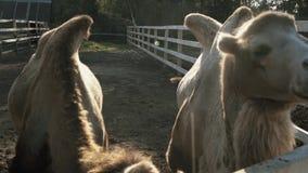 Η καμήλα δύο τρώει σε σε αργή κίνηση φιλμ μικρού μήκους