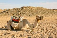 Η καμήλα έχει ένα υπόλοιπο στην έρημο Στοκ εικόνα με δικαίωμα ελεύθερης χρήσης