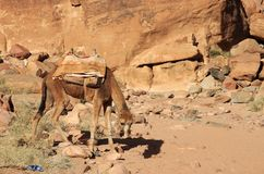 Η καμήλα είναι κουρασμένη επάνω τις ανοίξεις του Lawrence Αριστερή πλευρά Στοκ Εικόνες