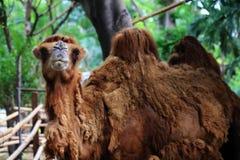 Η καμήλα κοιτάζει και χαμογελά Στοκ φωτογραφία με δικαίωμα ελεύθερης χρήσης