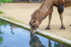 Η καμήλα πίνει Στοκ Φωτογραφίες