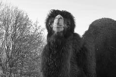 η καμήλα δύο Στοκ Εικόνες