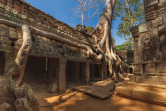 η Καμπότζη συγκεντρώνει siem Το TA prohm που το παλαιό δέντρο, siem συγκεντρώνει, Καμπότζη, εγγράφηκε στον κατάλογο παγκόσμιων κλ Στοκ Εικόνες