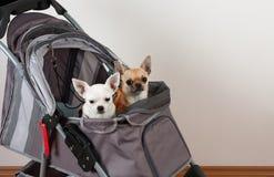 Η κανέλα και άσπρο Chihuahua κάθονται στον άνετο στρεπτόκοκκο κατοικίδιων ζώων Στοκ Εικόνες