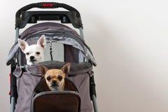 Η κανέλα και άσπρο Chihuahua κάθονται στον άνετο στρεπτόκοκκο κατοικίδιων ζώων Στοκ Εικόνα