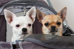 Η κανέλα και άσπρο Chihuahua κάθονται στον άνετο στρεπτόκοκκο κατοικίδιων ζώων Στοκ Φωτογραφία