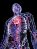 Η καρδιά και το αγγειακό σύστημα διανυσματική απεικόνιση