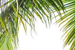 Η καρύδα βγάζει φύλλα Στοκ Φωτογραφίες
