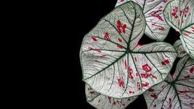 Η καρδιά διαμόρφωσε τα φανταχτερή φτερά αγγέλου Caladium φύλλων ή την καρδιά του Ιησού Στοκ Φωτογραφία