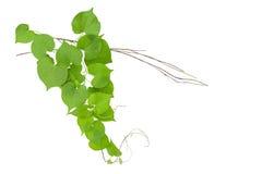 Η καρδιά διαμόρφωσε την πράσινη άγρια άμπελο φύλλων με τους κλάδους που απομονώθηκαν στο wh Στοκ Φωτογραφία