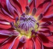 Η καρδιά του κόκκινου λουλουδιού νταλιών Μακροεντολή Στοκ εικόνες με δικαίωμα ελεύθερης χρήσης