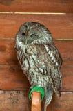 Η καστανόξανθη κουκουβάγια - σε λατινικό Striz Aluco Πορτρέτο του καστανόξανθου πουλιού κουκουβαγιών στην αιχμαλωσία Στοκ εικόνα με δικαίωμα ελεύθερης χρήσης