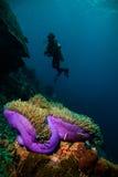 Η κατάδυση σκαφάνδρων δυτών ωκεάνιος στενός επάνω σκοπέλων θάλασσας της Ινδονησίας Στοκ εικόνα με δικαίωμα ελεύθερης χρήσης