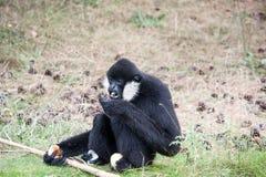 Η κατανάλωση βόρεια άσπρος-gibbon στοκ εικόνα