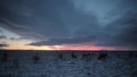 Η καταπληκτική άποψη ουρανού στον τάρανδο βραδιού έχει την τροφή, στην Αρκτική απόθεμα βίντεο
