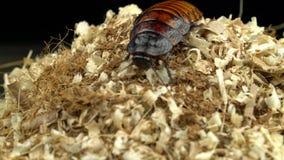 Η κατσαρίδα σέρνεται στην κορυφή του μαύρου υποβάθρου πριονιδιού απόθεμα βίντεο