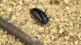 Η κατσαρίδα της Μαδαγασκάρης σέρνεται το πριονίδι απόθεμα βίντεο