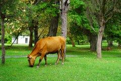 Η καφετιά αγελάδα τρώει τη χλόη στο πάρκο το καλοκαίρι στοκ εικόνες με δικαίωμα ελεύθερης χρήσης
