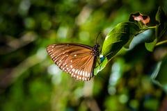 η καφετιά πεταλούδα απομόνωσε το λευκό στοκ φωτογραφία με δικαίωμα ελεύθερης χρήσης