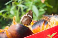 Η καφετιά πεταλούδα απορροφά το νέκταρ από το palmyra Στοκ Φωτογραφίες